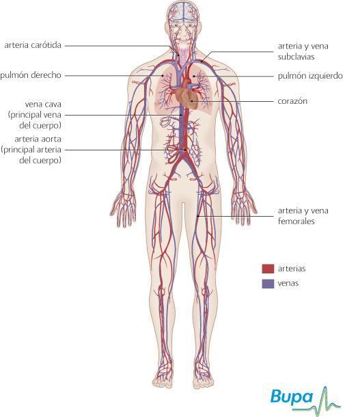organos cuerpo humano lado derecho dibujo